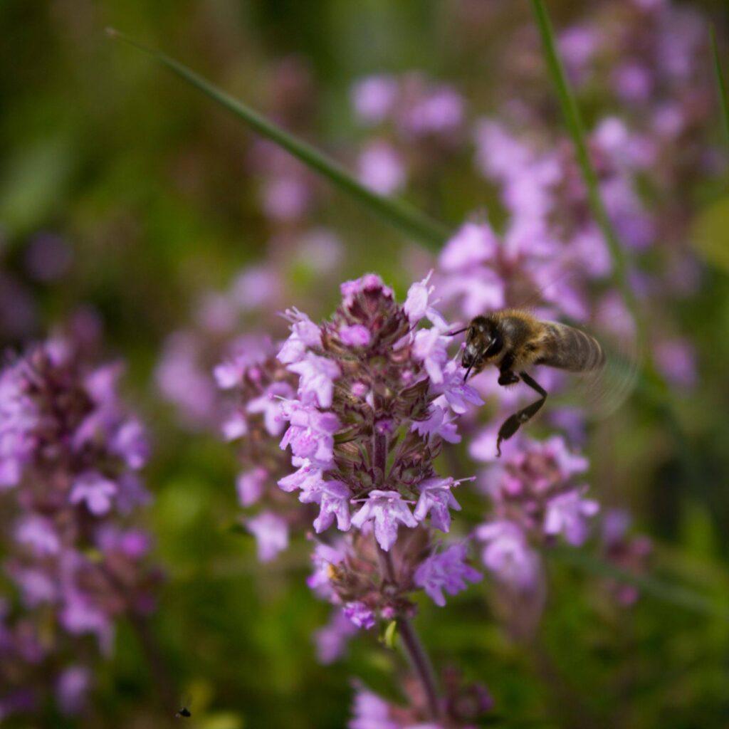 Mateřídouška se včelkou